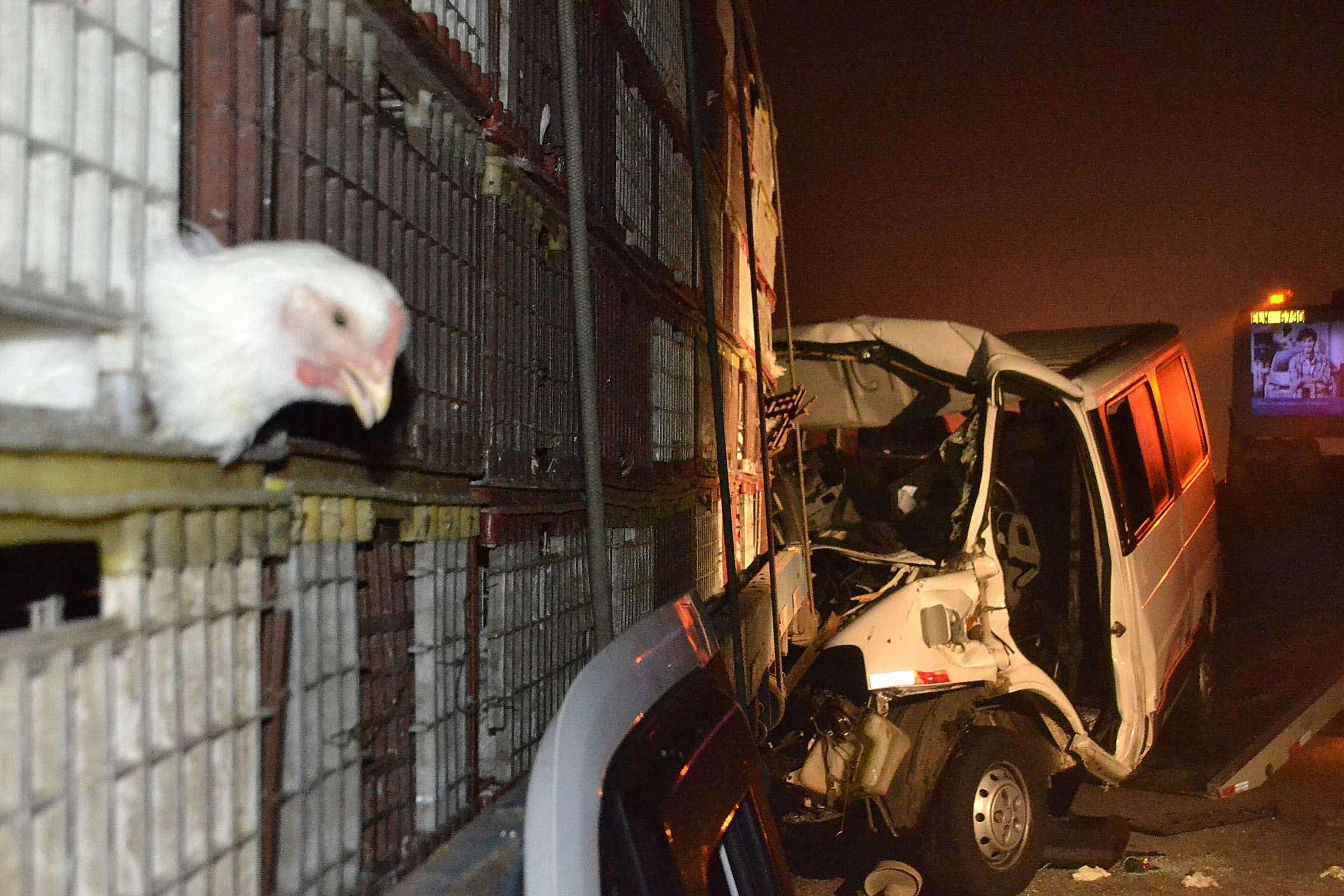 Caminhão estaca carregado com galinhas vivas Foto: Edu Silva/Futura Press