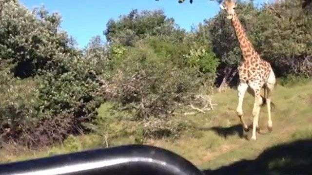 Girafa furiosa se irrita com turistas e resolve atacá-los