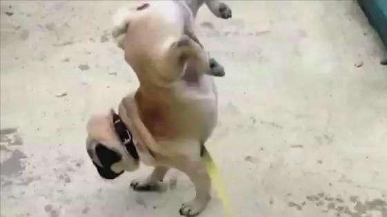 Cachorro tem maneira inusitada de fazer xixi