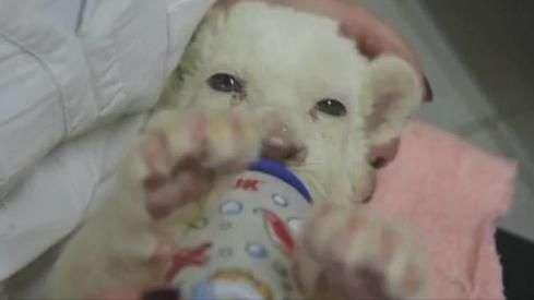 Fofura multiplicada: leões brancos nascem na Sérvia