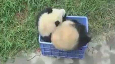 Panda se enrola todo ao tentar entrar em uma caixa