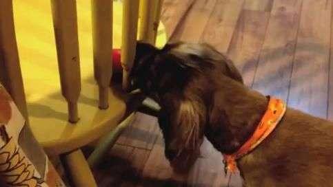 Chateado! Cão tenta pegar bolinha, mas cadeira não deixa