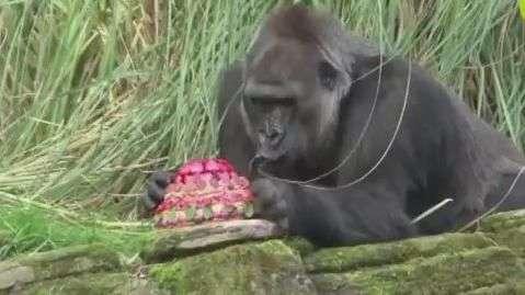 Gorila completa 40 anos e ganha festa no zoo de Londres