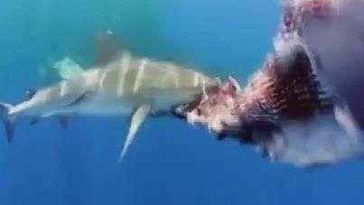 Tubarões se esbaldam com carcaça de baleia nas Bahamas