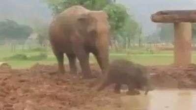 Vida boa! Bebê elefante se diverte na lama