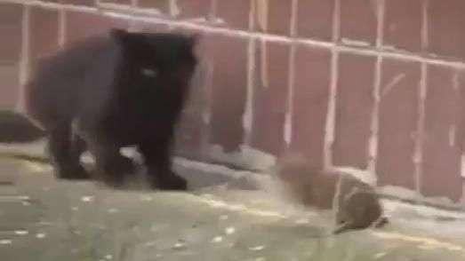 Dia da caça: gatos são humilhados por ratinho valente