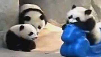 Filhotes de panda brincam como se fossem crianças