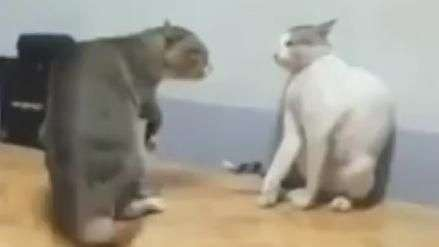 Gatos valentões se enfrentam e 'luta' vira hit