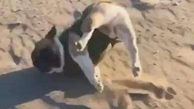 Cãozinho atrapalhado tropeça enquanto corre e vira hit