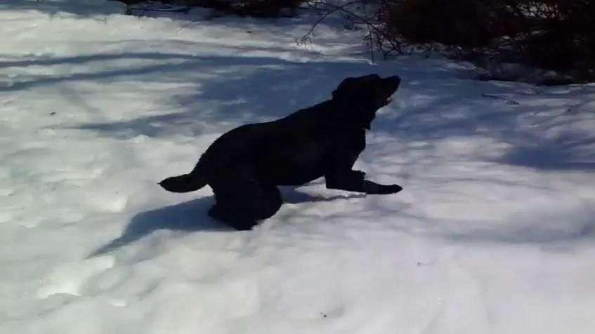 É muita fofura! Labrador fica 'maluco' brincando na neve