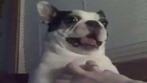 Cachorro 'imita' campainha e diverte dono