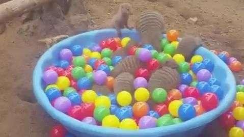 Mangustos se divertem em piscina de bolinha