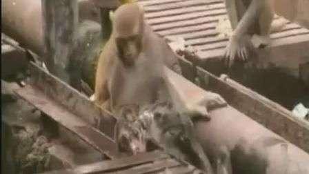 Vídeo mostra macaco tentando ressuscitar animal eletrocutado