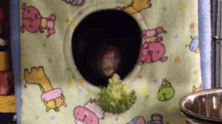 Cadê o queijo? Veja reação de ratinho a pedaço de brócolis