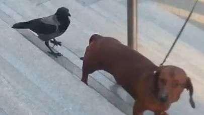 Cheio de marra, corvo bica cachorro e não se intimida