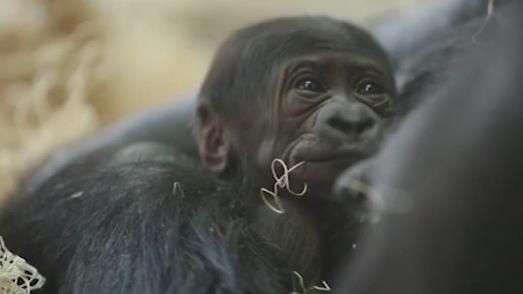 Zoológico de Chicago dá boas-vindas a bebê gorila
