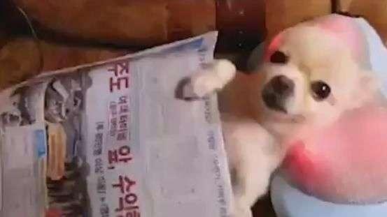 Cãozinho aprova travesseiro que faz massagem