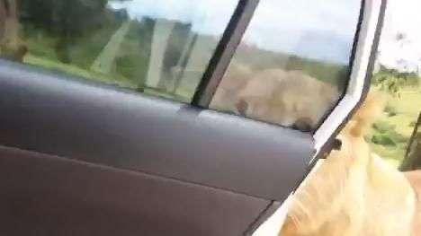 Leoa consegue abrir porta de carro com turistas em safari