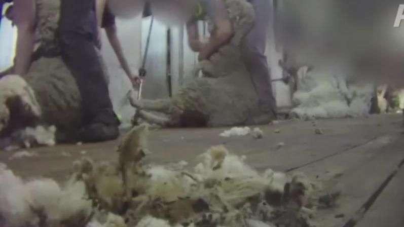 Imagens flagram maus-tratos a ovelhas na Austrália