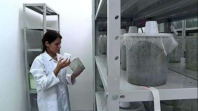 Un laboratorio produce mosquitos transgénicos contra el ...