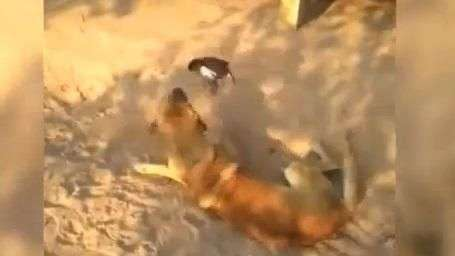 "Pájaro ""chorizo"" se enfrenta sin temor contra un perro"