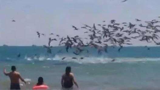 Ataque masivo de pelícanos en playa de Ecuador