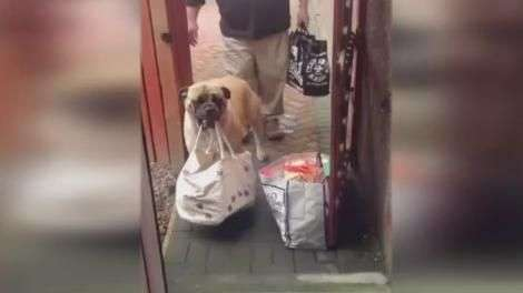 Cadela ajuda donos a carregar sacolas de supermercado
