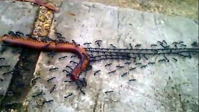 Un ejército de hormigas remolca a un ciempiés al hormiguero