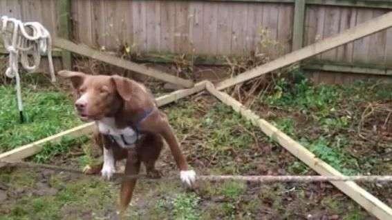Increíble destreza de un perro sobre la cuerda