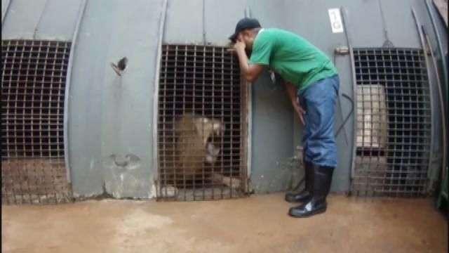 Hospital Veterinário da FAG faz exames em leão