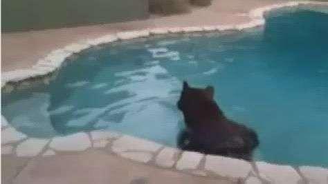 Homem filma urso tomando banho na piscina de casa