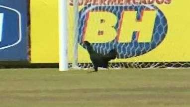 Intruso! Galo invade treino do Cruzeiro antes de clássico