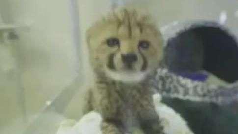 Filhotes de guepardo encantam público nos EUA