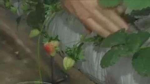 Projeto possibilita produção de morango durante o ano todo