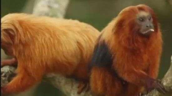 Mico-leão-dourado resiste à extinção, mas ainda é ameaçado
