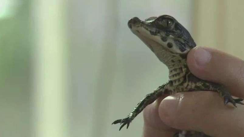 Crocodilo anão chama atenção em fazenda