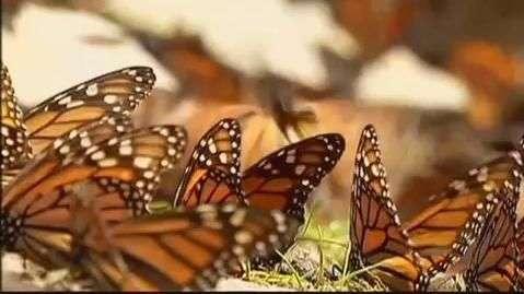 Emprenden medidas para la protección de la mariposa monarca