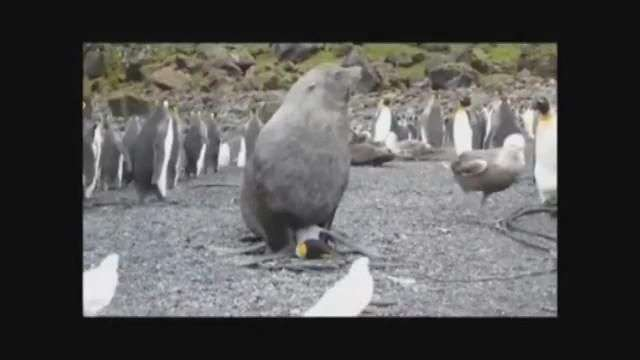 Impresionante: lobos marinos tienen sexo con pingüinos