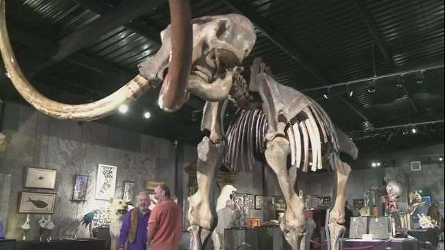 Subastan esqueleto de mamut gigante