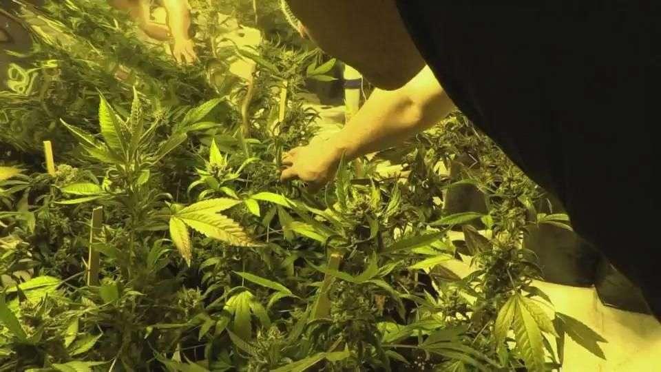 Marihuana se huele cada vez más en Uruguay