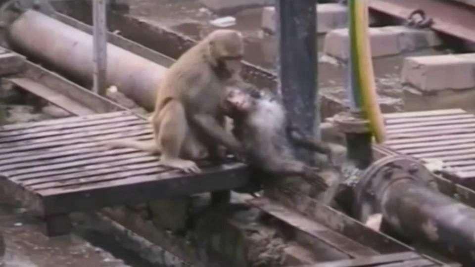 Un mono revive a otro que cayó electrocutado en India