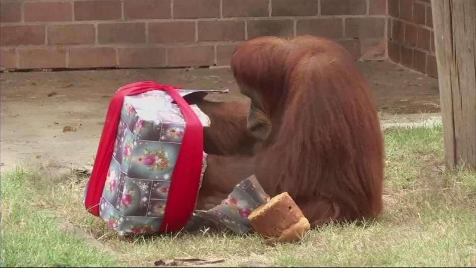 Animales abren sus regalos de navidad en zoo de Brasil