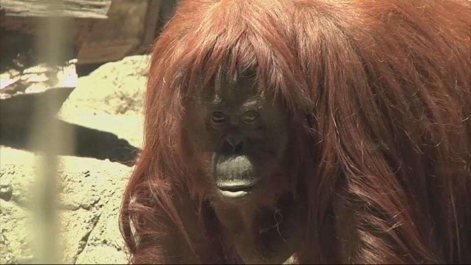 Sandra, primera orangután con derechos humanos