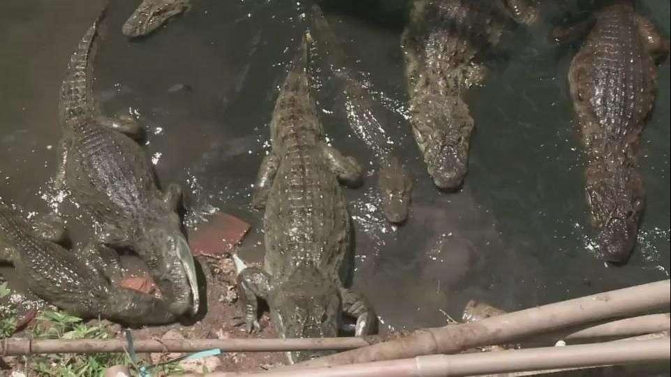 Sortean caimanes para conseguir agua en favela de Río de...