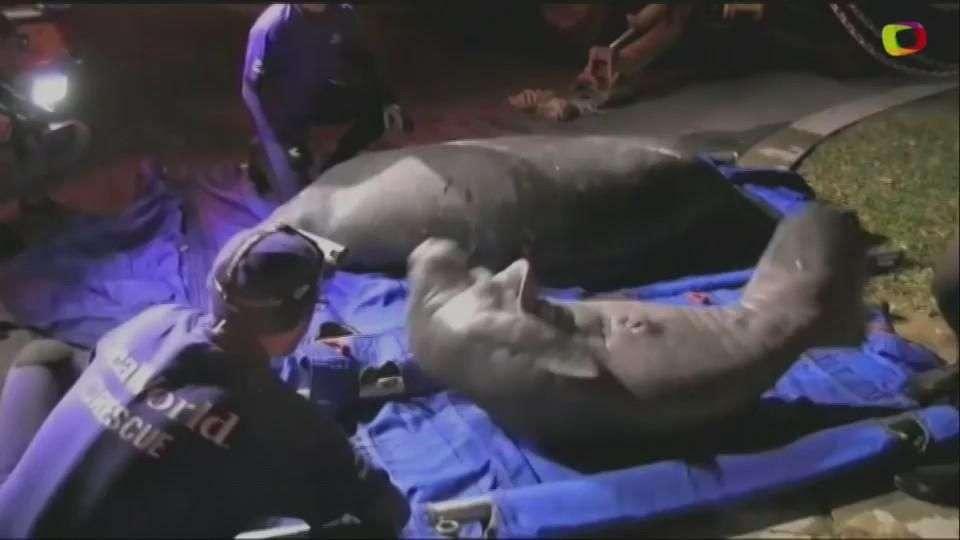 Rescatan a 20 manatíes atrapados en desagües en Miami