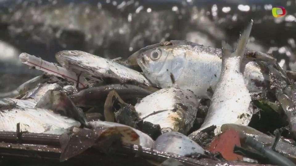 Los peces muertos de Rio de Janeiro