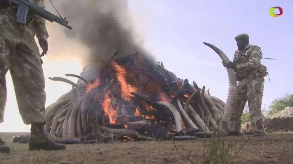 Presidente de Kenia quema marfil