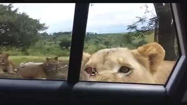 Del terror: Estaban de safari y una leona se acercó mucho
