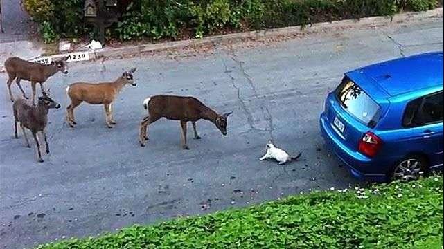 La reacción de un rebaño de ciervos al encontrarse un gato