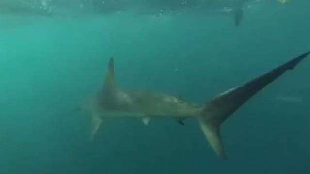 Tiburón martillo persigue embarcación por tres kilómetros